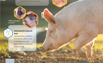 Importance of Vitamin in Pig Diet