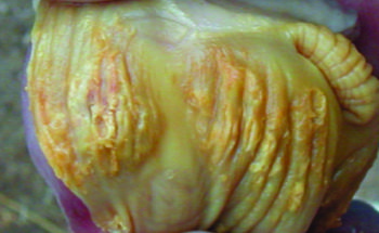 Causes of Gizzard Erosion and Proventriculitis in Broilers