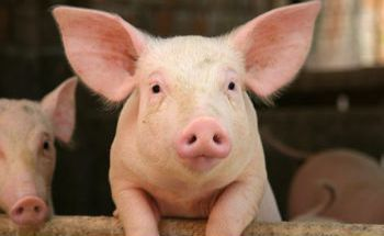 Endotoxins in swine – effects and strategies for control