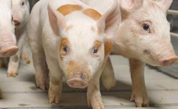 Efectos patológicos en cerdos relacionados con zearalenona