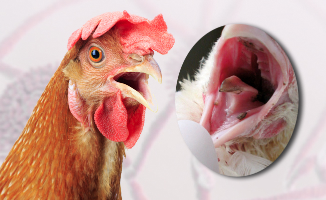 Algunos cuadros clínicos asociados con micotoxicosis en gallinas
